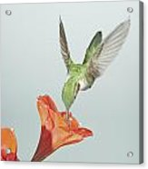Amyrillis And Broadtailed Hummingbird Acrylic Print