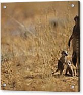 An Adult Meerkat Stands Guard Over Two Acrylic Print