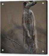 An Adult Meerkat Suricata Suricatta Acrylic Print