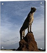 An African Cheetah Guards Its Territory Acrylic Print by Chris Johns