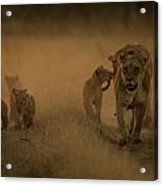 An African Lioness And Cubs, Panthera Acrylic Print