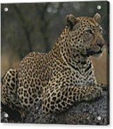 An Alert Leopard Rests On A Fallen Tree Acrylic Print