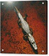 An Alligator Walks On The Muddy Bottom Acrylic Print