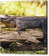 An American Alligator On A Log Acrylic Print