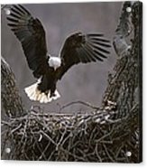 An American Bald Eagle Flies Acrylic Print