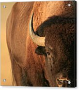 An American Bison In The Early Morning Acrylic Print