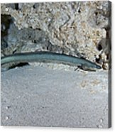 An American Eel Prowls Along The Edge Acrylic Print