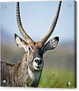 An Antelope Standing Amongst Tall Acrylic Print