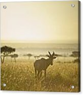 An Antelope Walks In The Grassland At Acrylic Print