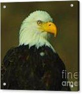 An Eagle Close Up  Acrylic Print