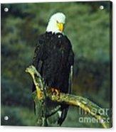 An Eagle Staring Acrylic Print
