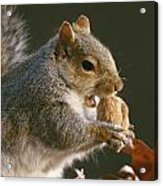 An Eastern Gray Squirrel Sciurus Acrylic Print