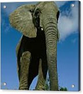 An Elephant At The Pittsburgh Zoo. This Acrylic Print by Michael Nichols