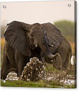 An Elephant Charges When Startled Acrylic Print