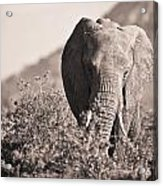 An Elephant Walking In The Bush Samburu Acrylic Print