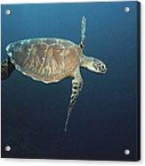 An Endangered Green Sea Turtle Swimming Acrylic Print