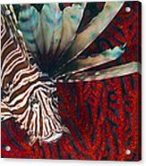 An Invasive Indo-pacific Lionfish Acrylic Print