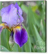 An Iris Blossom Acrylic Print
