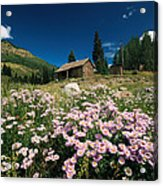 An Old Miners Cabin With Purple Asters Acrylic Print by Richard Nowitz