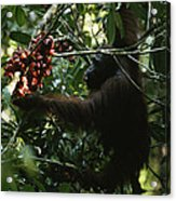An Orangutan Gorges Himself Acrylic Print