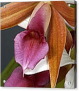 An Orchid, Probably A Cattleya Hybrid Acrylic Print