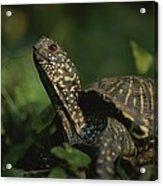 An Ornate Box Turtle Surveys Acrylic Print