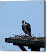 An Osprey In Maryland Acrylic Print