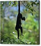 An Unidentified Monkey Hangs Acrylic Print
