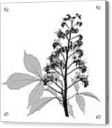 An X-ray Of A Chestnut Tree Flower Acrylic Print