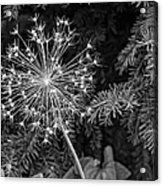 Anatomy Of A Flower Monochrome Acrylic Print
