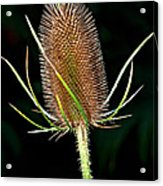 Anatomy Of A Weed Acrylic Print