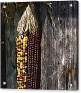 Ancient Corn Acrylic Print
