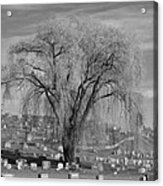 And The Willow Tree Weeps Acrylic Print