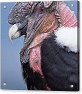 Andean Condor Vultur Gryphus Adult Male Acrylic Print