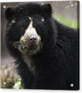 Andean Or Spectacled Bear, Tremarctos Acrylic Print