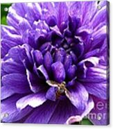 Anemone Coronaria Named Lord Lieutenant Acrylic Print