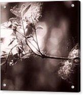 Angel Fluff Acrylic Print