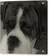 Angelic Boxer Acrylic Print