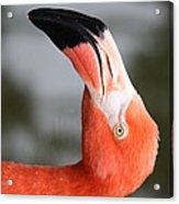 Angle Of A Flamingo Side B Acrylic Print