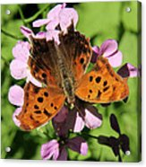 Anglewing Butterfly Acrylic Print