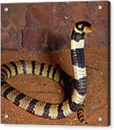 Angolan Coral Snake Defensive Display Acrylic Print