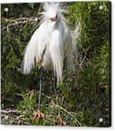 Angry Bird Snowy Egret In Breediing Plumage Acrylic Print