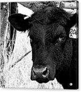Angus Cow In Black And White Acrylic Print by Tam Graff