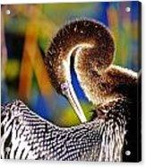 Anhinga - Fs000043 Acrylic Print
