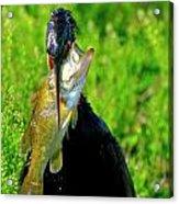 Anhinga And The Fish Acrylic Print