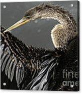 Anhinga Acrylic Print