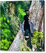 Anhinga On A Cyprus Acrylic Print by Frank Feliciano