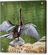Anhinga On Turtle Acrylic Print