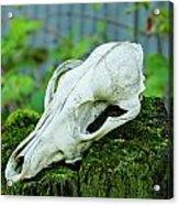 Animal Skull Acrylic Print