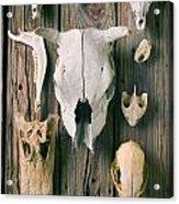 Animal Skulls Acrylic Print